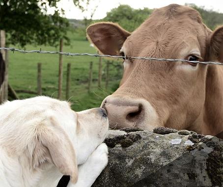 Cow & Dog 3.jpg