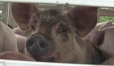 Pig in Truck for Slaughter