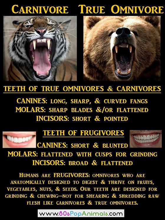 Humans Omnivores Frugivores
