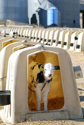 4 Calf Chained in White Pod.jpg