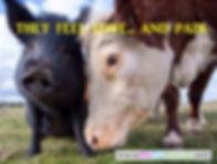 Farm animals feel love and pain