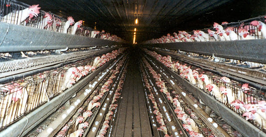 Chickens factory farm