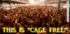 Cage free chickens