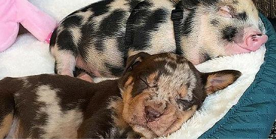 Puppy & piglet