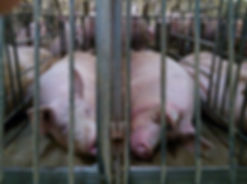 Pigs Gestation Crates