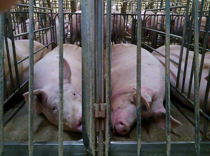 Pigs Gestation Crates