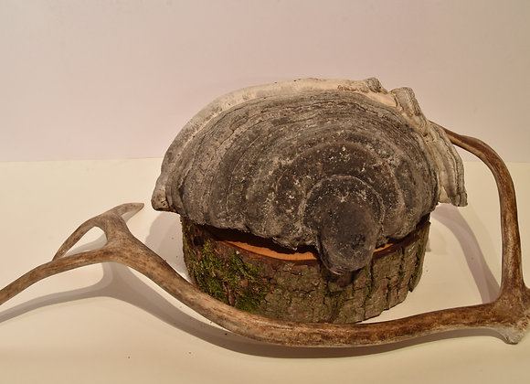 Large tree fungus/großer Baumpilz 2