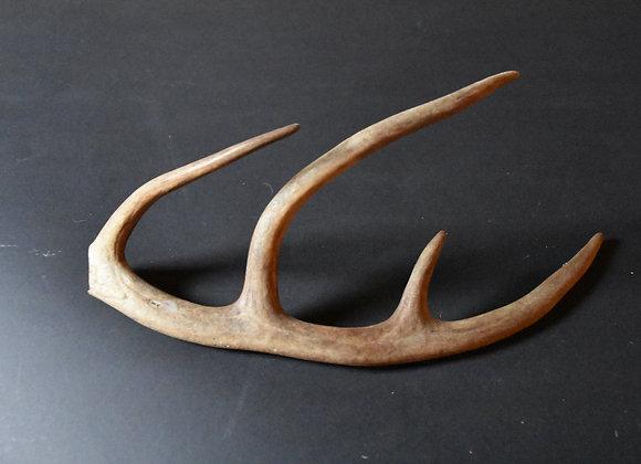 Reindeer antler from Lapland 32/Rentiergeweih aus Lappland 32