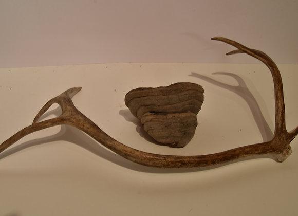Tree fungus from Lapland/großer Baumpilz aus Lappland 4