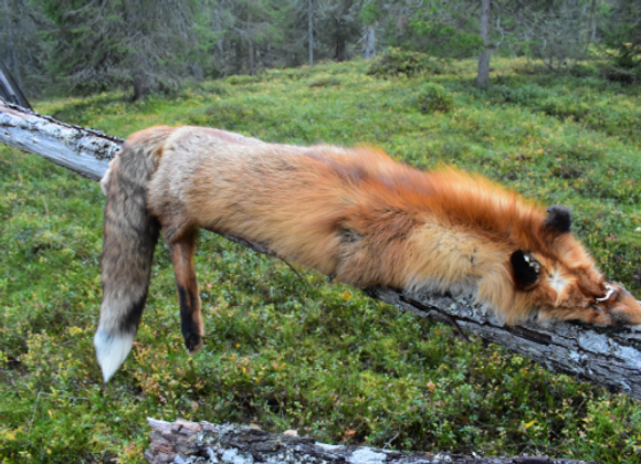 beautiful fox fur ▸ from Lappland
