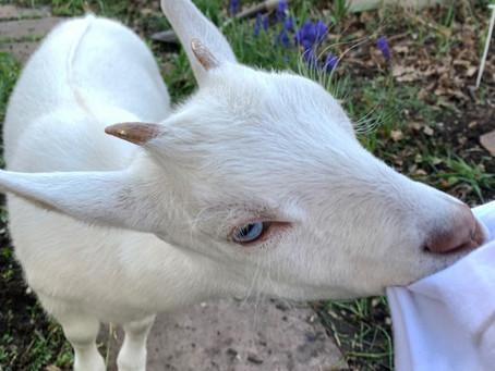 Baby Goats of Summer!