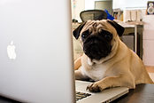 Pug on a laptop