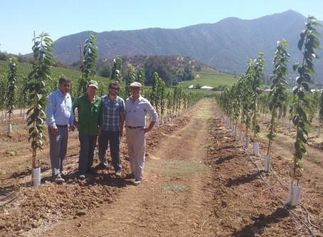 Incursión de Viña Castamora en el cultivo del Cerezo