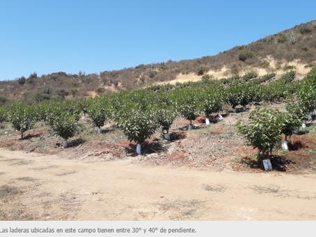 Plantación de cerezos en laderas, una alternativa con futuro