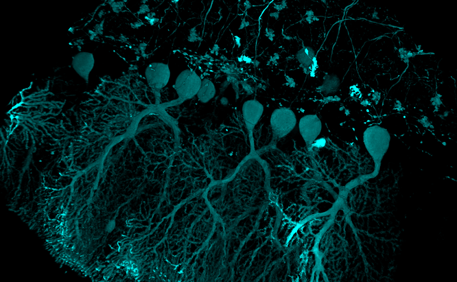 Neuron volume rendering