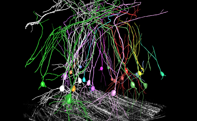 Tracing pyramid neurons in mouse cortex