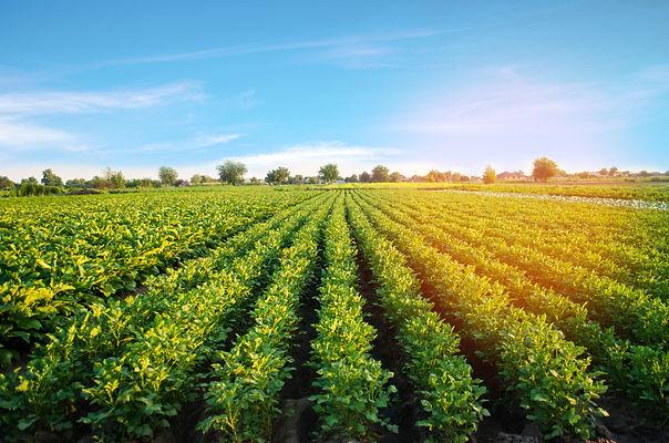 potato plantations grow in the field. ve