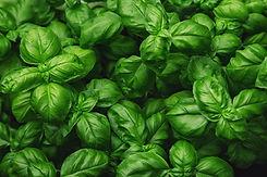 Fresh basil on a dark background. Green