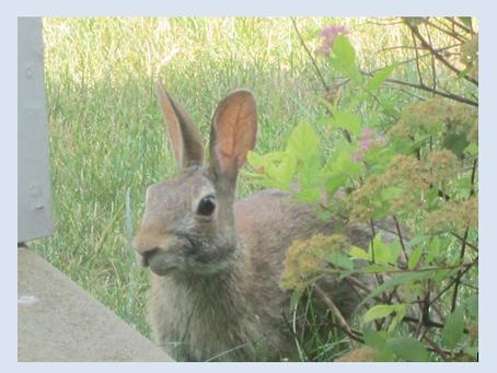 Three rabbit thoughts // Juliet Cook