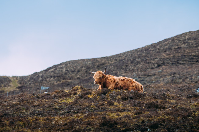 [2018-04-19] - Highland Cattle - 004.jpg