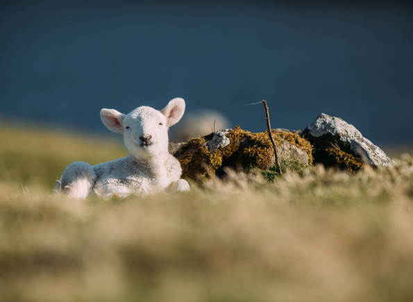 [2018-04-19] - Highland Sheep - 013.jpg