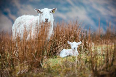 [2018-04-19] - Highland Sheep - 003.jpg