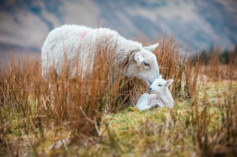 [2018-04-19] - Highland Sheep - 002.jpg