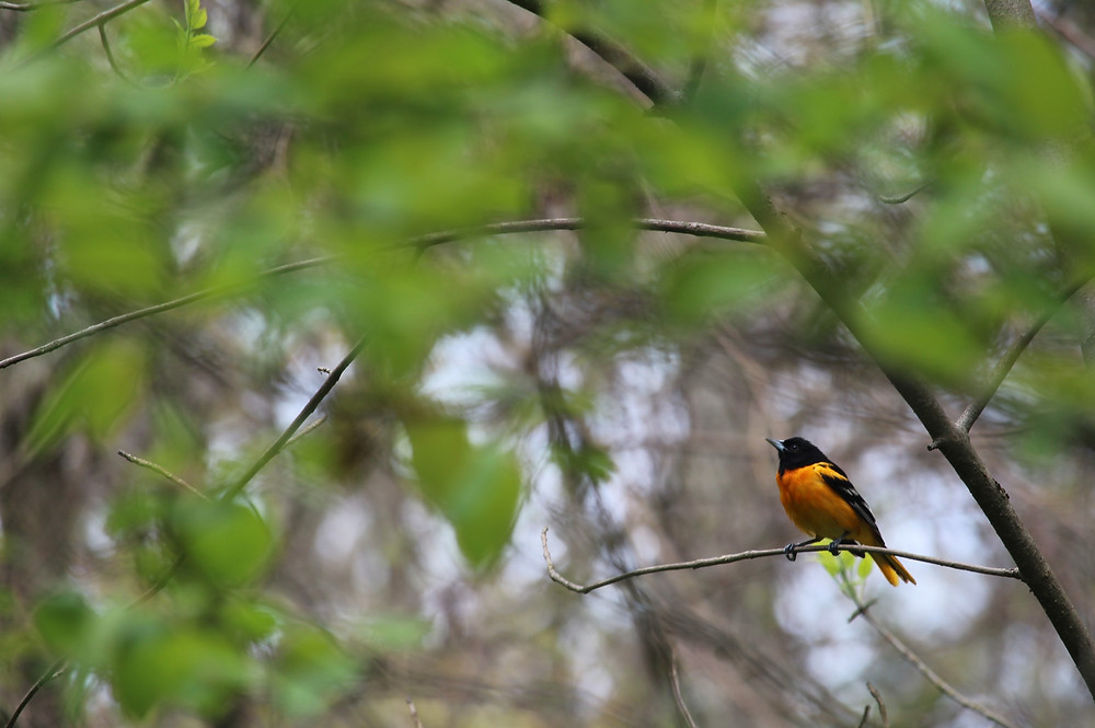 A male Baltimore Oriole in Point Pelee National Park, May 2019. Photo: Eva Thorpe.