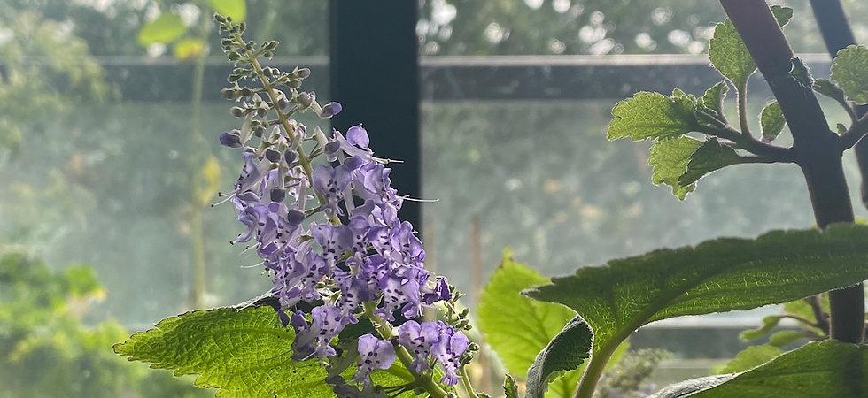 Reumaplant bloei uitgesneden.jpg