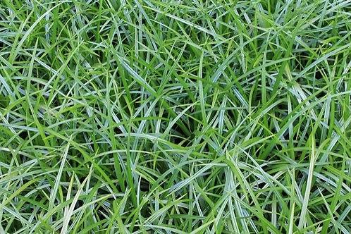 Carex Morrowii 'Irish Green' - Japanse Zegge