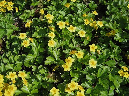 Waldsteinia Ternata - Gele Aardbei