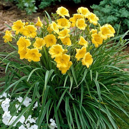 Hemerocallis Stella Doro (Daglelie)