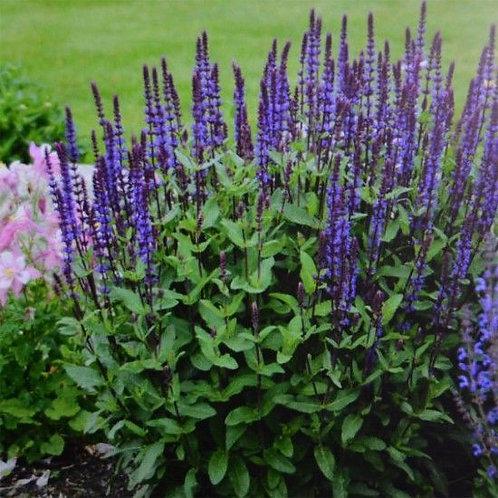 Salvia nemorosa 'Blauhgel' -  Salie