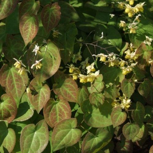Epimedium versicolor 'Sulphureum' - Elfenbloem