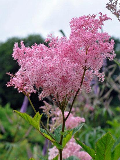 Filipendula Rubra Venusta - Moerasspirea