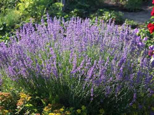 Lavandula int. 'Dutch' - Lavendel