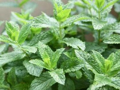 Mentha Spicata Crispa (Kruizemunt)