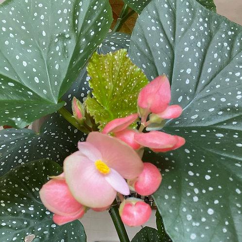 Begonia Angel Wing