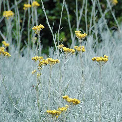 Helichrysum Italicum - Kerrieplant
