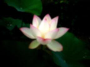 white-lotus-1552510.jpg