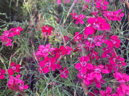 Dianthus Deltoides Brillant - Rozerode Steenanjer