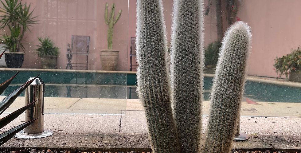 """Cleistocactus """"Silver Torch"""""""