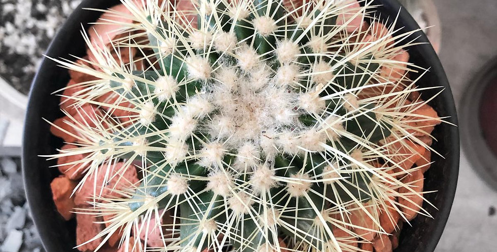 Echinocactus Grusonii 'Golden Barrel'