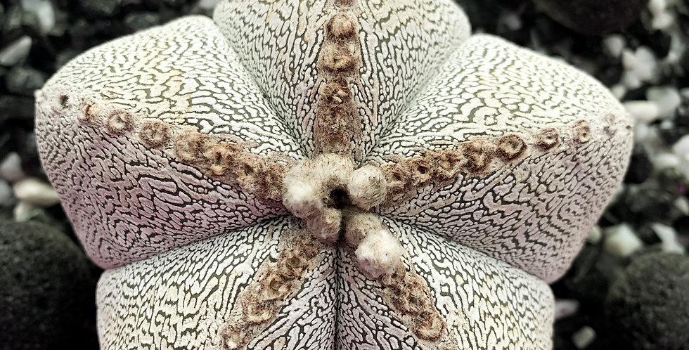 Astrophytum M. Onzuka