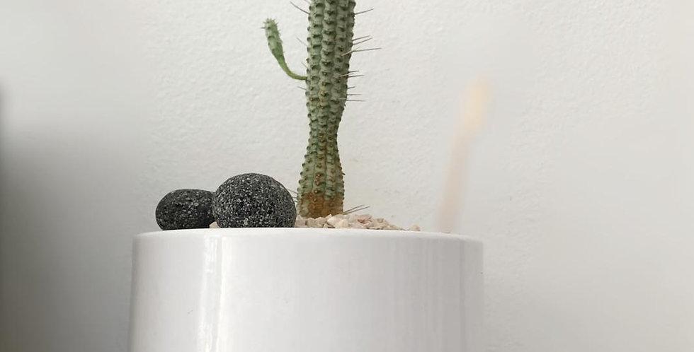 Popcorn Cactus