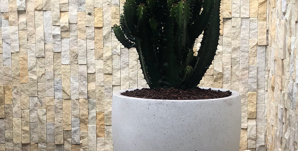 Euphorbia Cowboy