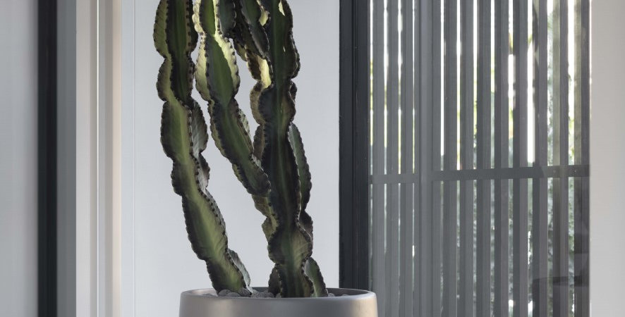 Euphorbia Ingen sp (Spineless)