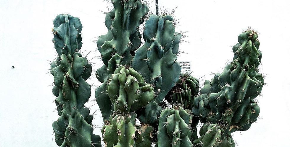 Cereus Monstrose sp.