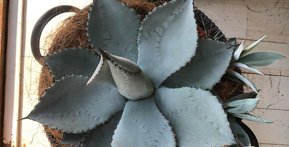 Dragon Toe Agave