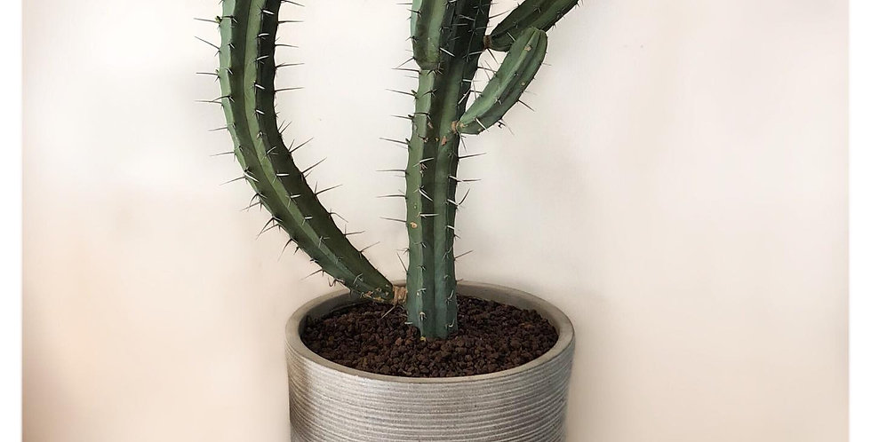 Myrtillocactus Geometrizan 'Blue Candle'